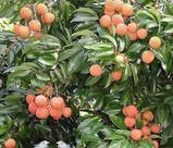 木になっている茘枝(ライチ)の画像2