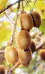 キウイフルーツ(ヘイワード種)