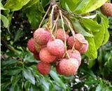 木になっている茘枝(ライチ)の画像
